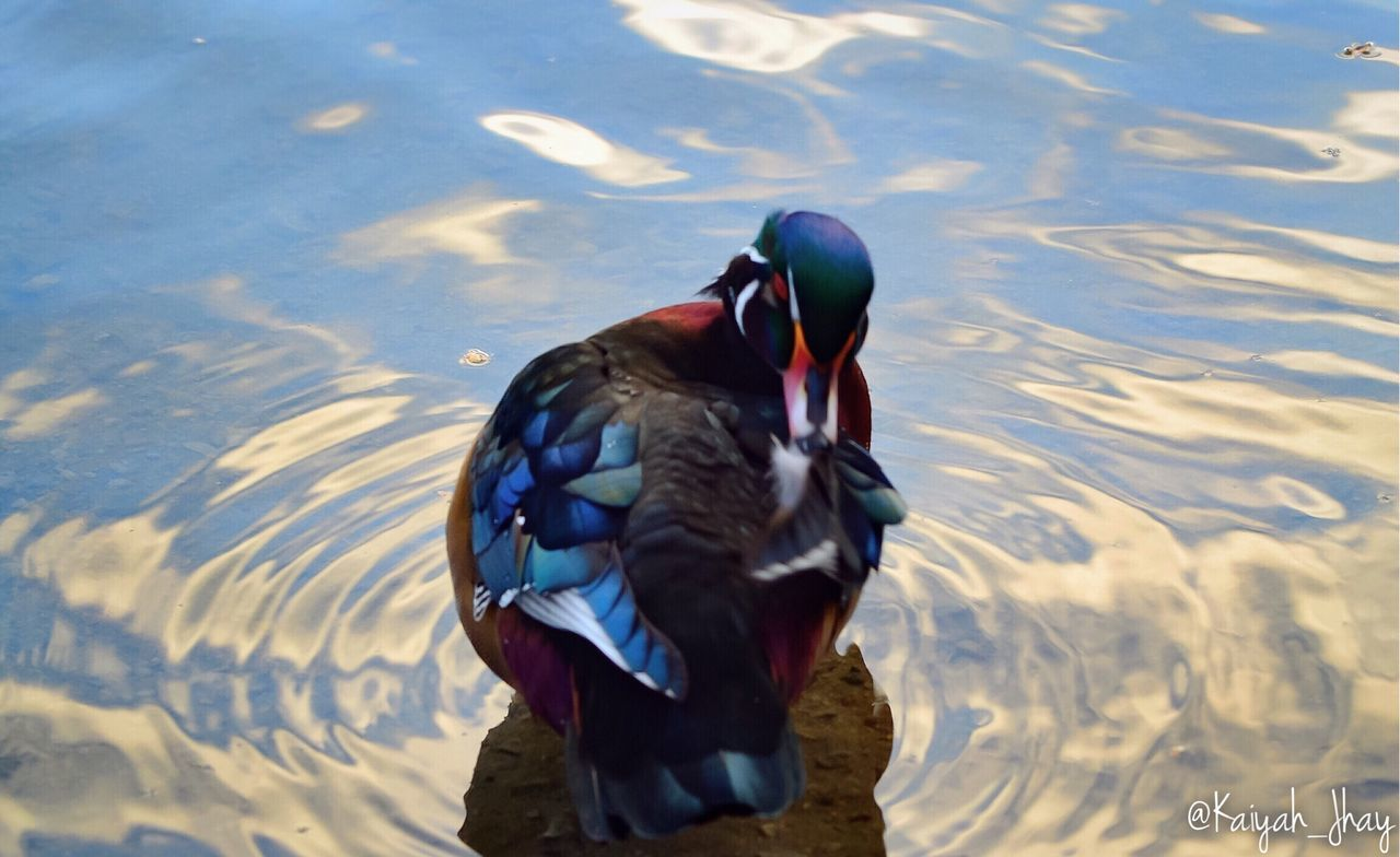 one animal, animal themes, animals in the wild, lake, animal wildlife, duck, bird, water, nature, mandarin duck, reflection, swimming, waterfront, day, outdoors, no people, beauty in nature