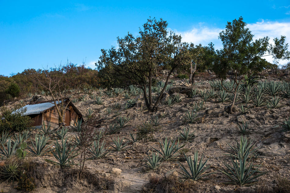 Agave Beauty In Nature Blue Cactus Day Field Grass Growth Landscape Mexico Mezcal Nature Nature_collection No People Non-urban Scene Oaxaca Outdoors Plant Scenics Sky Tranquil Scene Tranquility Travel Travel Photography Tree