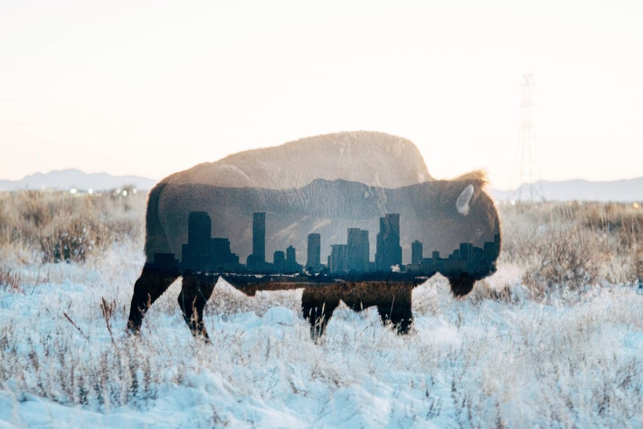 Double Exposure Winter Mountain Bison