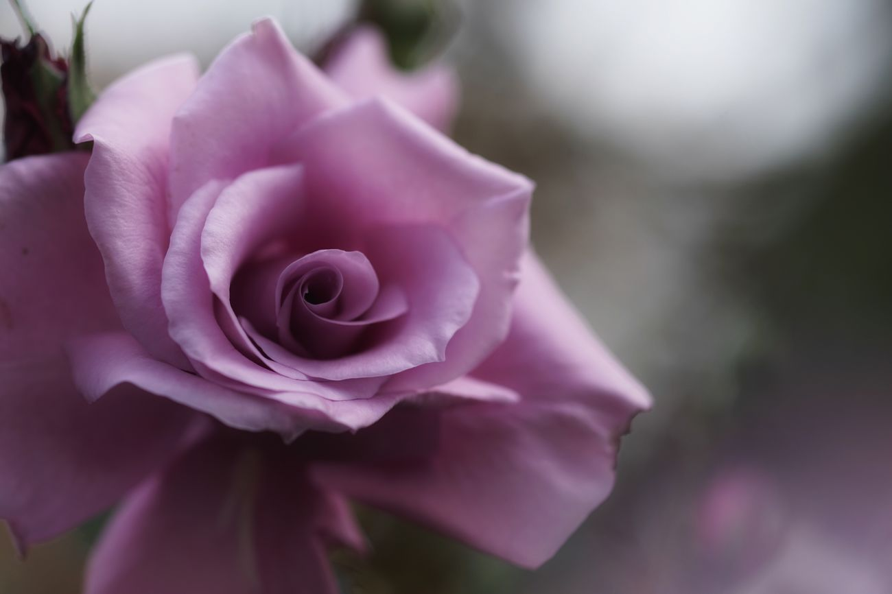 Regret Sadness Transience Fragility Roses Purple Rose Purple Flower Flower Yokohama Yokohama English Garden SONY A7ii Micronikkor Micronikkor105mmf2.8 105mm Masako201711 Loss