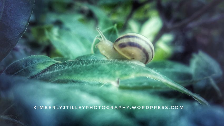 A garden snail making it's way on a leaf. Close-up Nature Outdoors Leaf Plant Garden Snail KimberlyJTilley Leaves