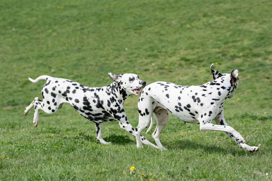 A young beautiful Dalmatian dog running on the grass Dalmatian Dalmatian Dog Dog Dogs Of EyeEm Grass Mammal Running