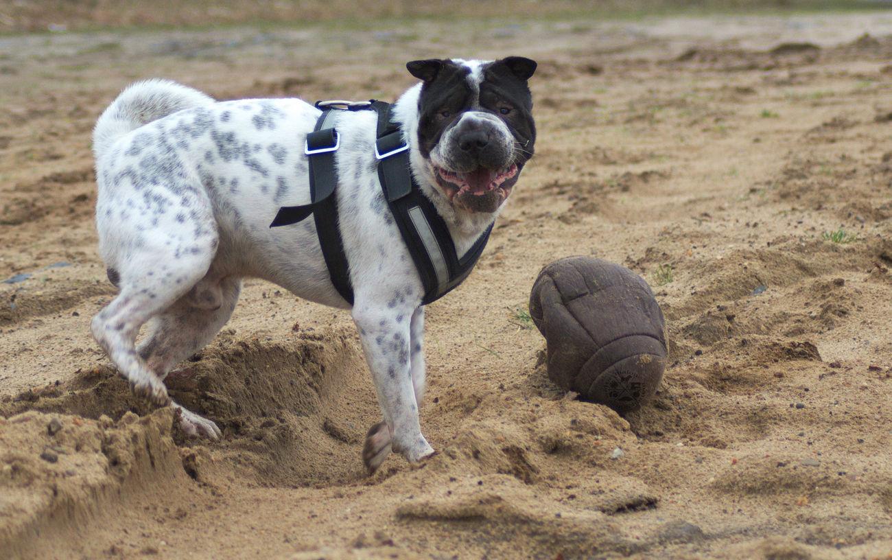 Dog Domestic Animals Beach Sand Animal Themes No People Day One Animal Nature Outdoors Pets Hund Hundefotografie Dog Photography Shar Pei Ball Crazy Verrückt