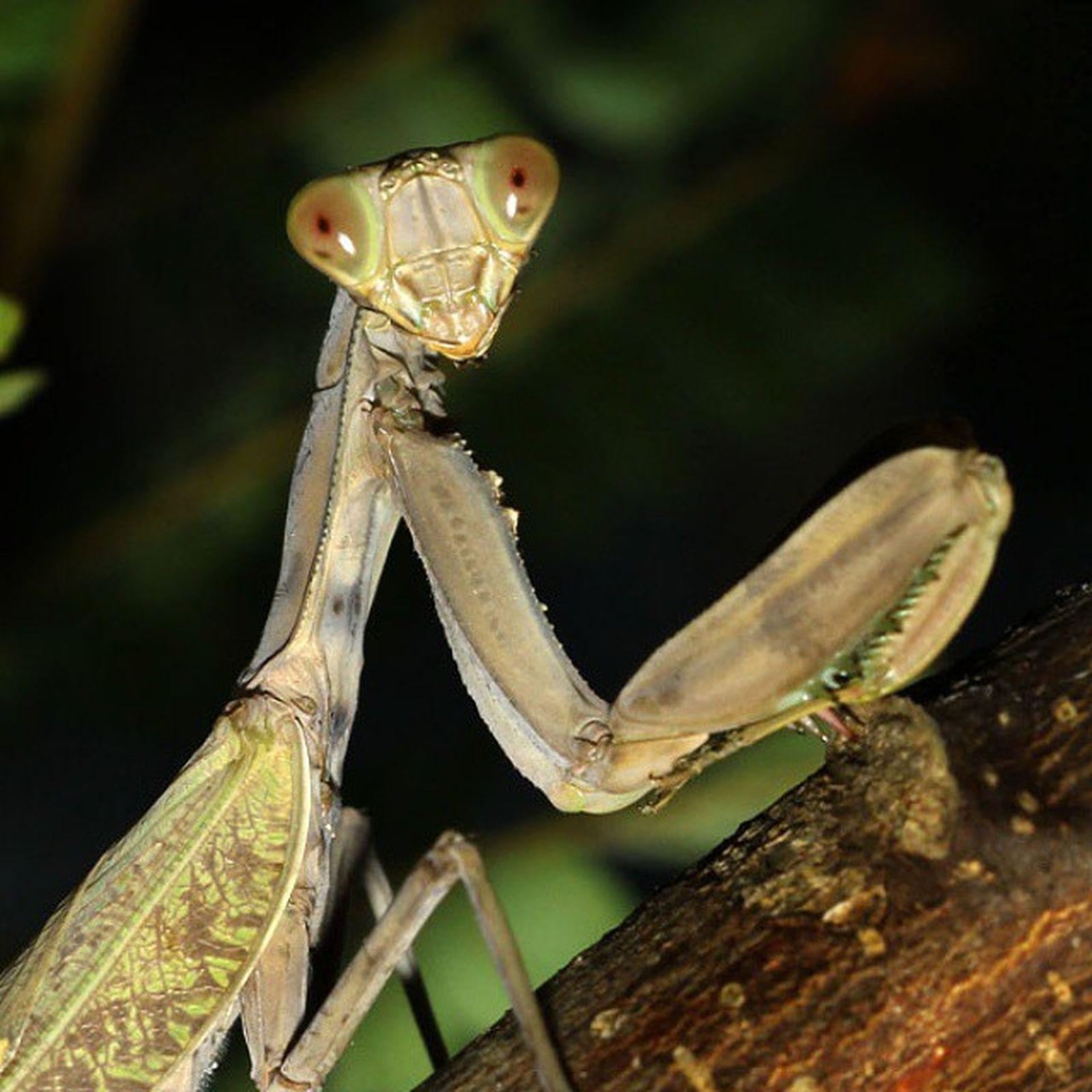 Hello... Mantis Mantisgram Indonesianmantis KINGS_INSECTS tgif_insects tgif_macro igglobalclubmacro alalamiya_macro