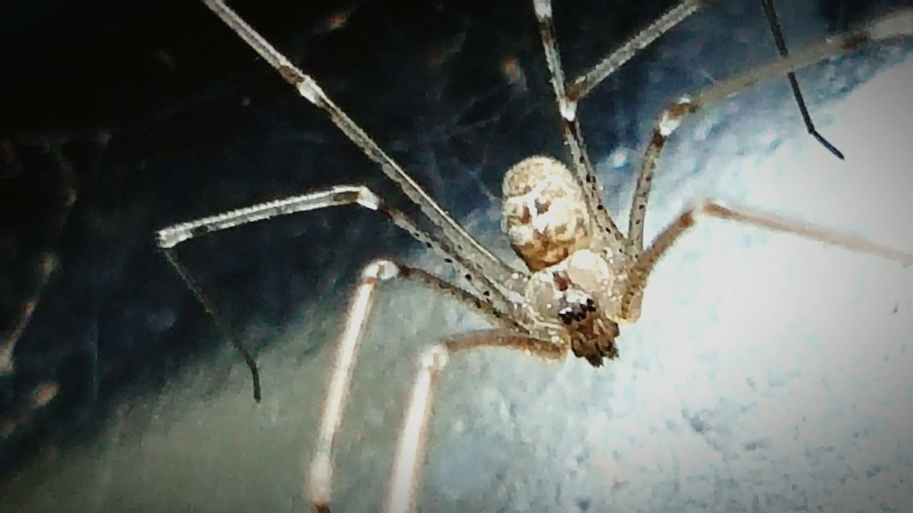 One Animal Animal Themes Animals In The Wild Animal Wildlife No People Close-up Insect Low Angle View Nature Outdoors Spider Cellar Spider