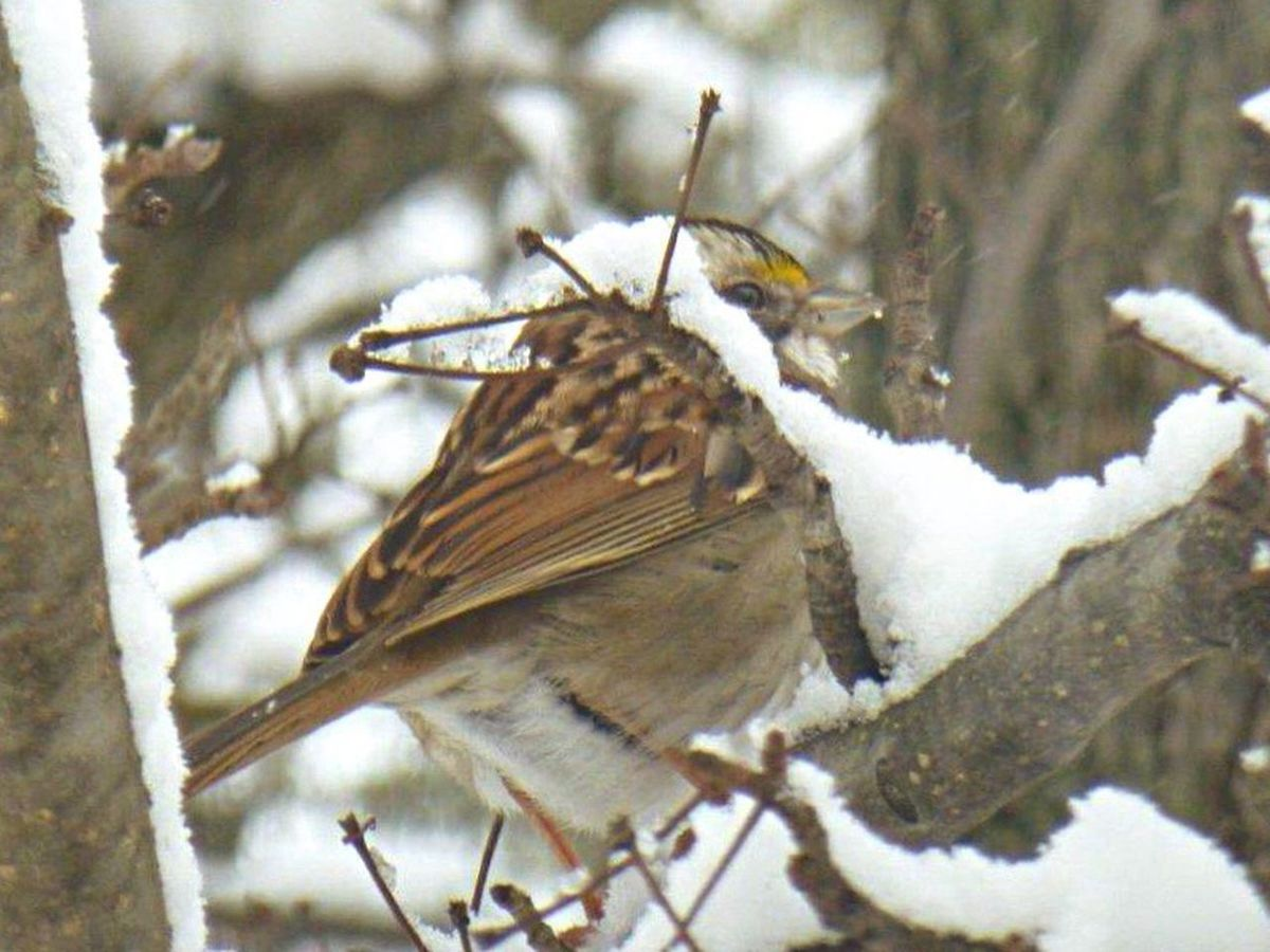 Winter 2016 Bird Watching Snow Birds Of EyeEm  Sparrow Sparrows Birds And Branches Bird Photography Wildlife My Backyard