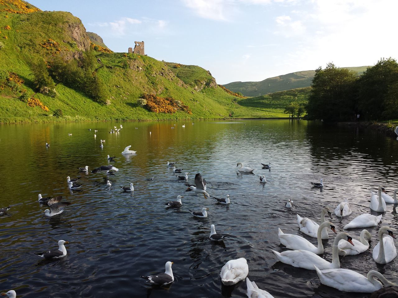 St.Margaret's Loch  on a Summer afternoon, with Swans and Seagulls swimming in foreground. May 2014. Holyrood Park Edinburgh Scotland United Kingdom Urban Hiking Hiking Adventures Hiking Pond Birds Birds And Water Daylight Sun Lush Landscape Scenic Landscape Moment Tranquil Scene Urban Nature