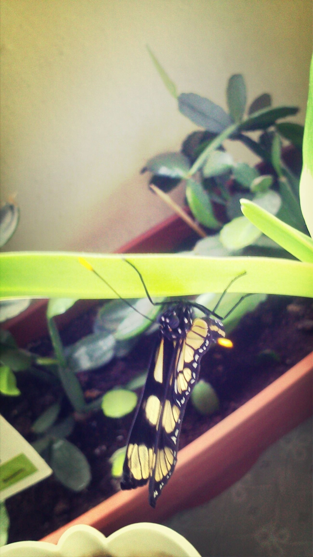 Butterfly Butterflyig