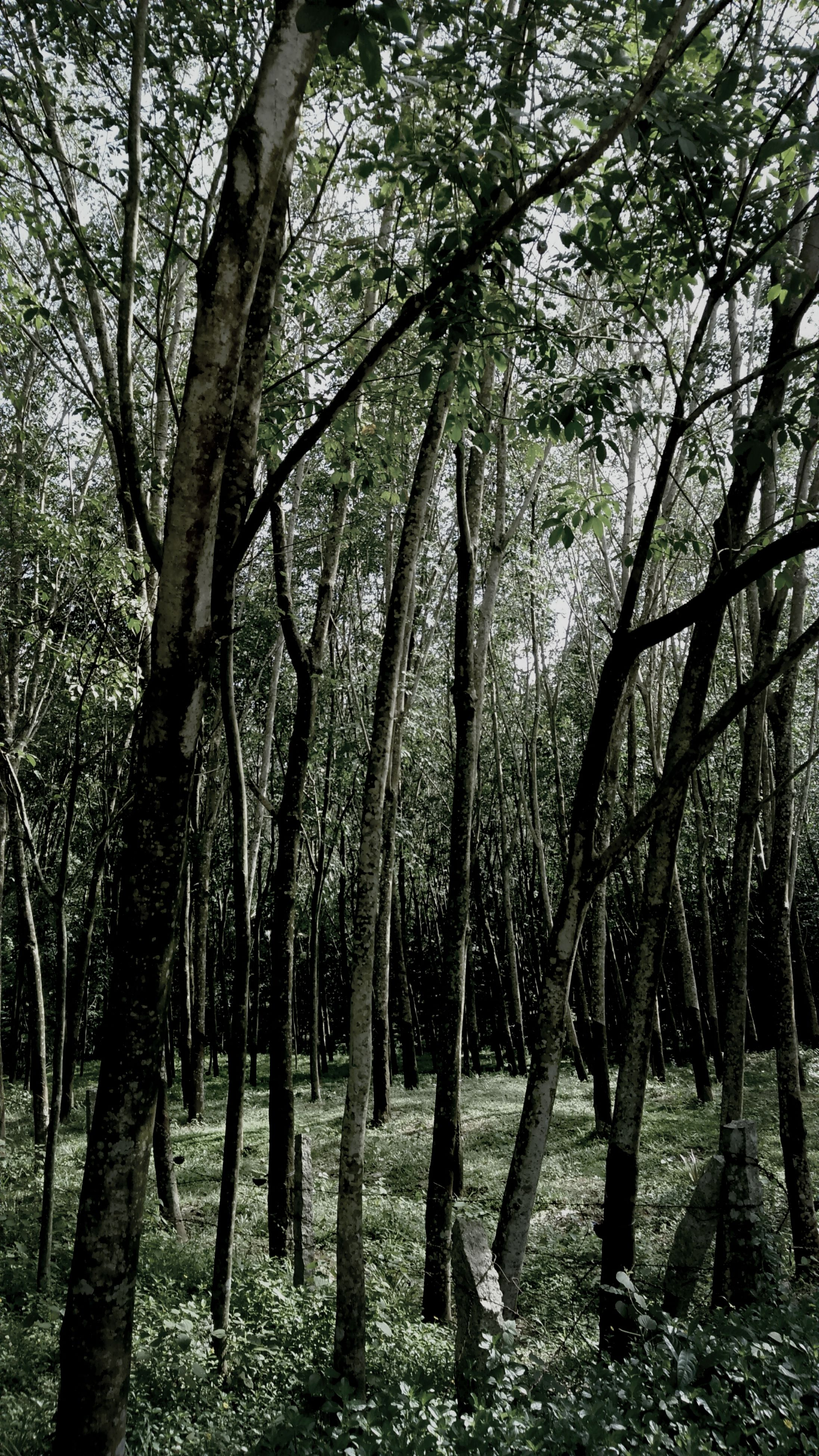 tree, tree trunk, tranquility, growth, nature, branch, forest, tranquil scene, beauty in nature, woodland, scenics, sunlight, day, landscape, non-urban scene, outdoors, low angle view, no people, sky, idyllic