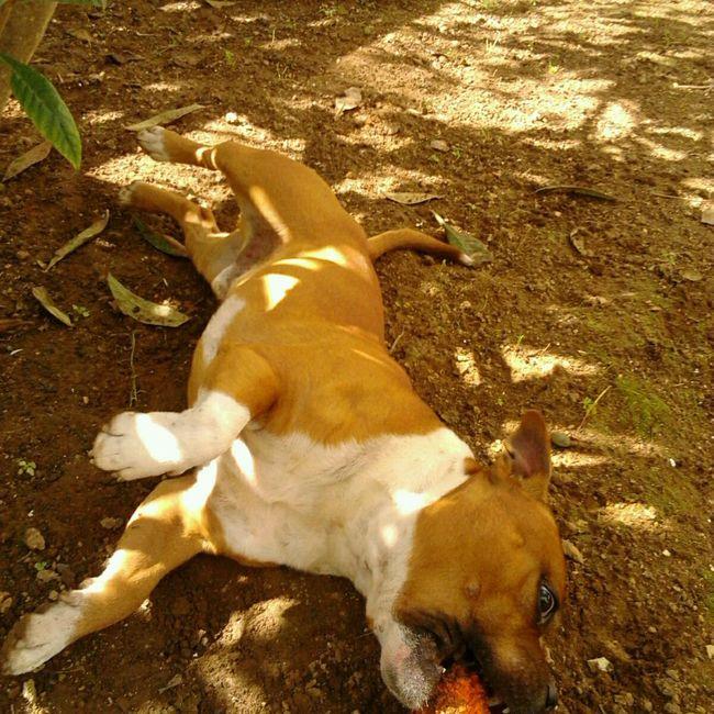 Jugando en mi patio!!! Nature Dog Zeus Staffy