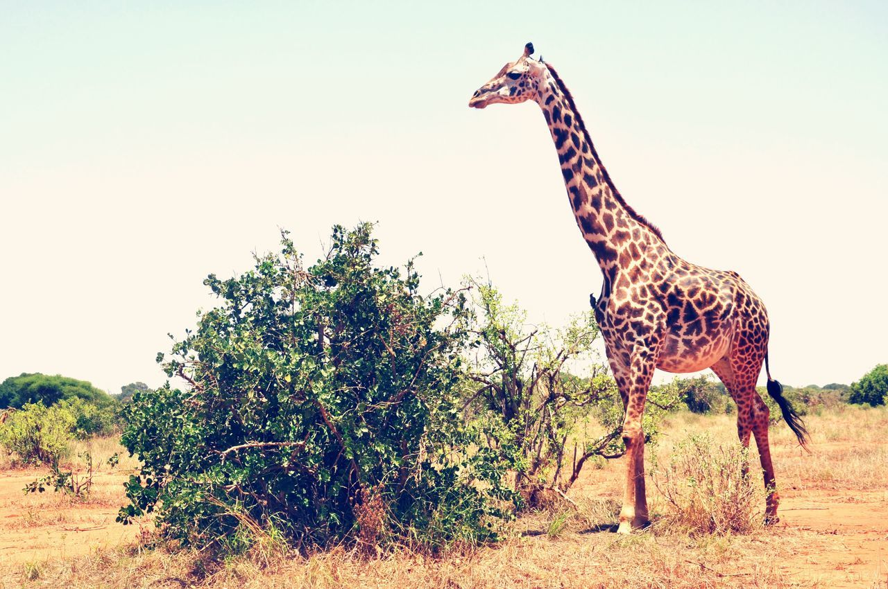 Beautiful stock photos of giraffe, Animal Markings, Animal Themes, Animals In The Wild, Clear Sky