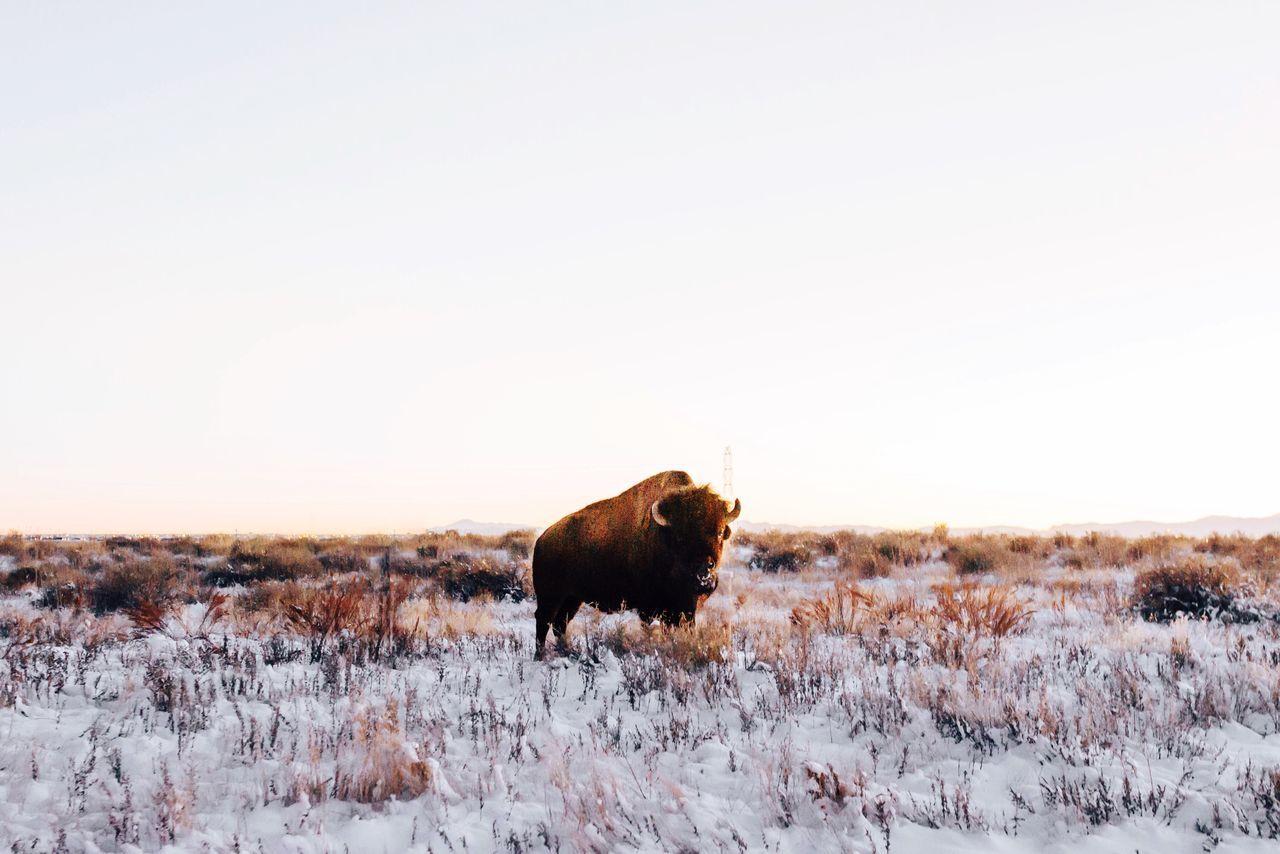 Animals In The Wild Animal Wildlife American Bison Outdoors Fresh On Market 2017