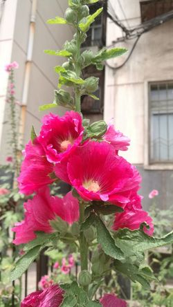 Flower Outdoors Plant Pink Color Beauty In Nature No People Taken In China