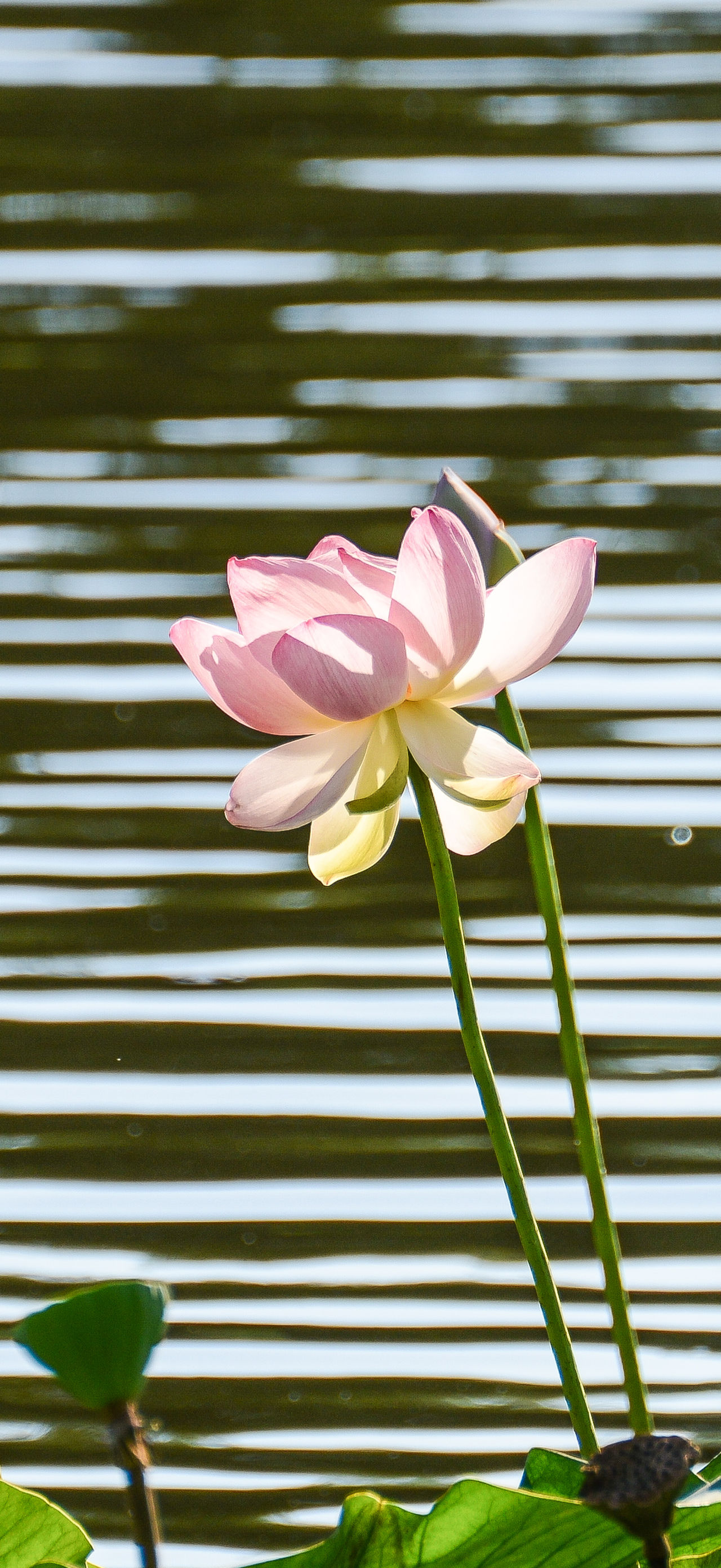 lily and lake Lily Flower Beauty In Nature Flower Flower Head Fragility Lake And Lily Lily Nature No People Petal Pink Color Plant
