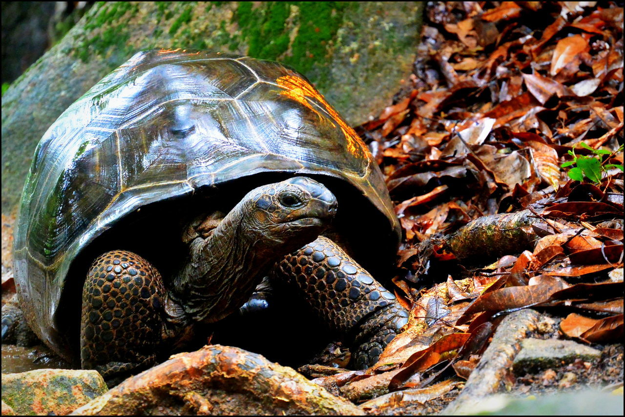 Animal Themes Animals In The Wild Close-up Giant Tortoise One Animal Reptile Reptile Reptile Collection Reptile Photography Tortoise