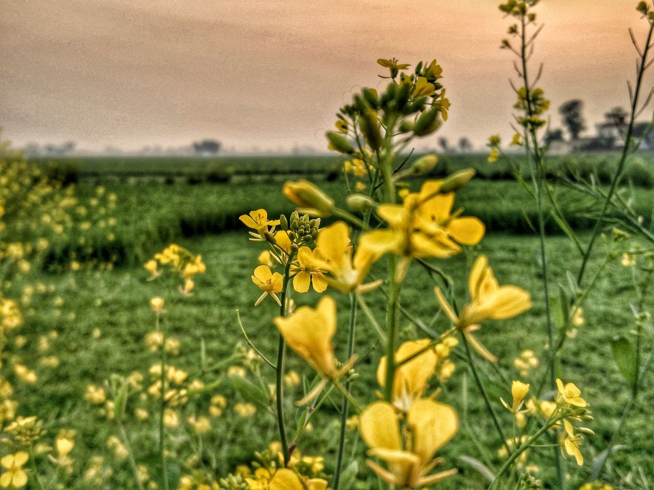 Growth Flower Beauty In Nature Nature Plant Field Yellow Fragility No People Outdoors Freshness Flower Head Day Oneplus2 Indianphotograhers Tranquil Scene Close-up