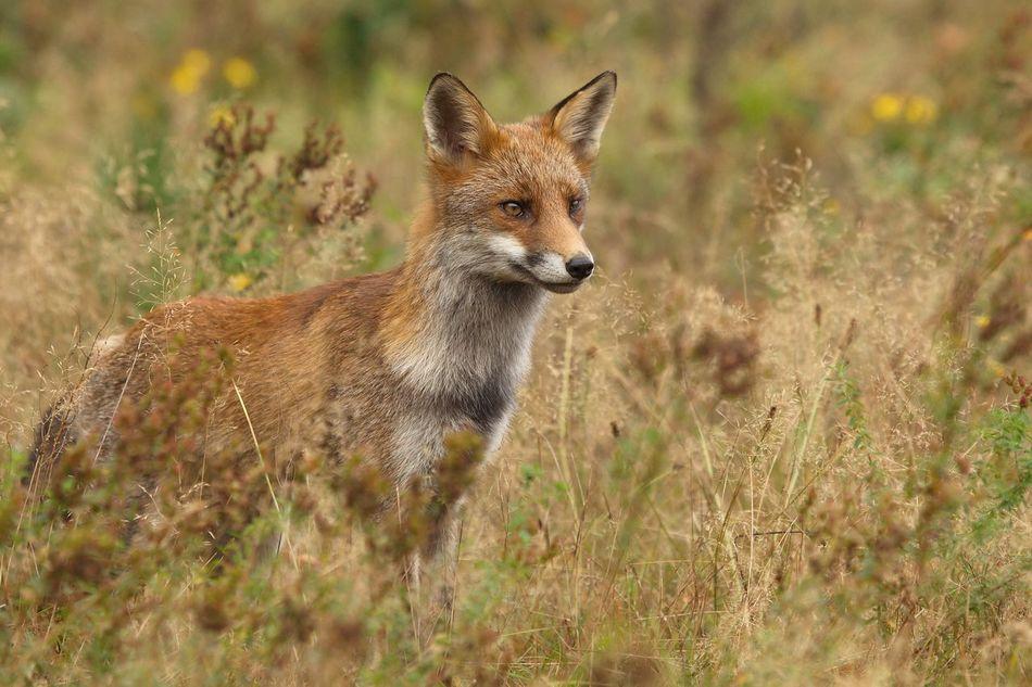 Beautiful stock photos of fox, Alertness, Animal Themes, Animal Wildlife, Animals In The Wild