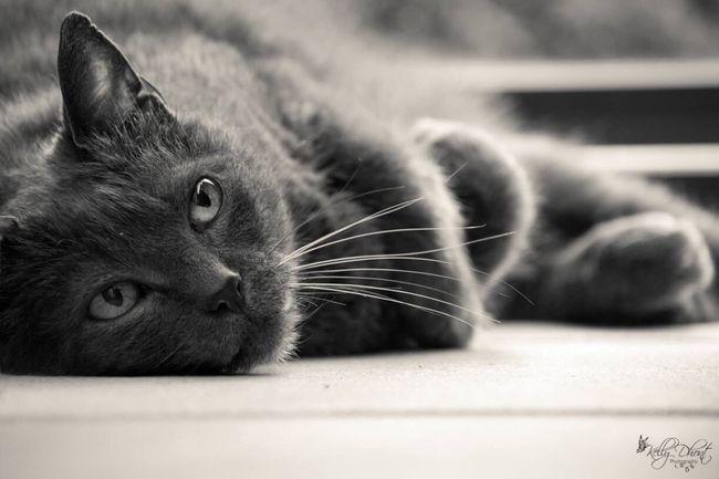 RussianBlue Russianbluecat Russianbluesofinstagram Cat Cat♡ Cat Lovers Pets