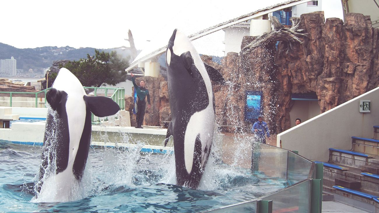 Water Splashing Killer Whale Aquarium No People Kamogawa Sea World