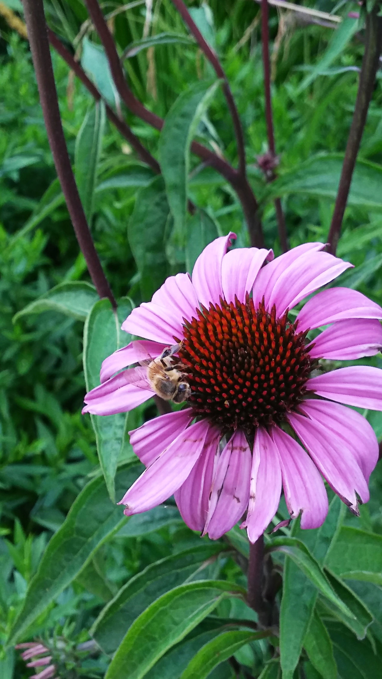 Hunger Animal Themes Beauty In Nature Bee Bloom Blooming Bug Bumblebee Close-up Day Eastern Purple Coneflower Flower Flower Head Fragility Freshness Growth Insect Nature No People Outdoors Petal Plant Pollen Pollination Purple
