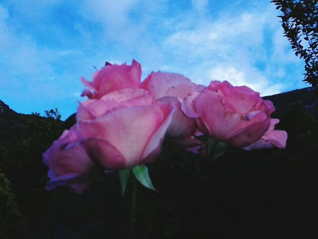 Flowers,Plants & Garden Rose🌹 Sky Clouds And Sky