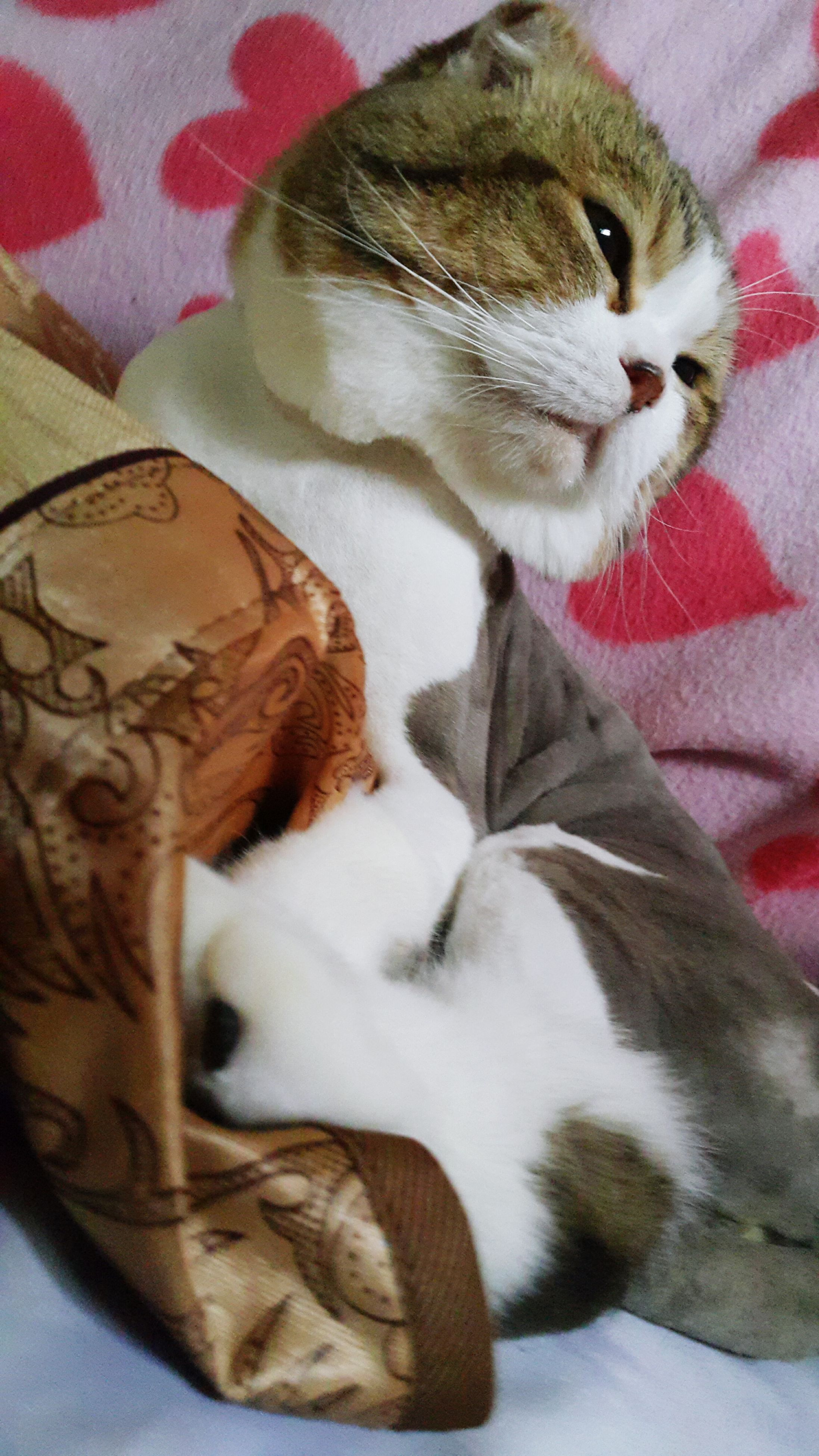 animal themes, domestic animals, pets, domestic cat, indoors, cat, one animal, mammal, feline, relaxation, bed, lying down, whisker, resting, close-up, white color, home interior, high angle view, no people, animal head