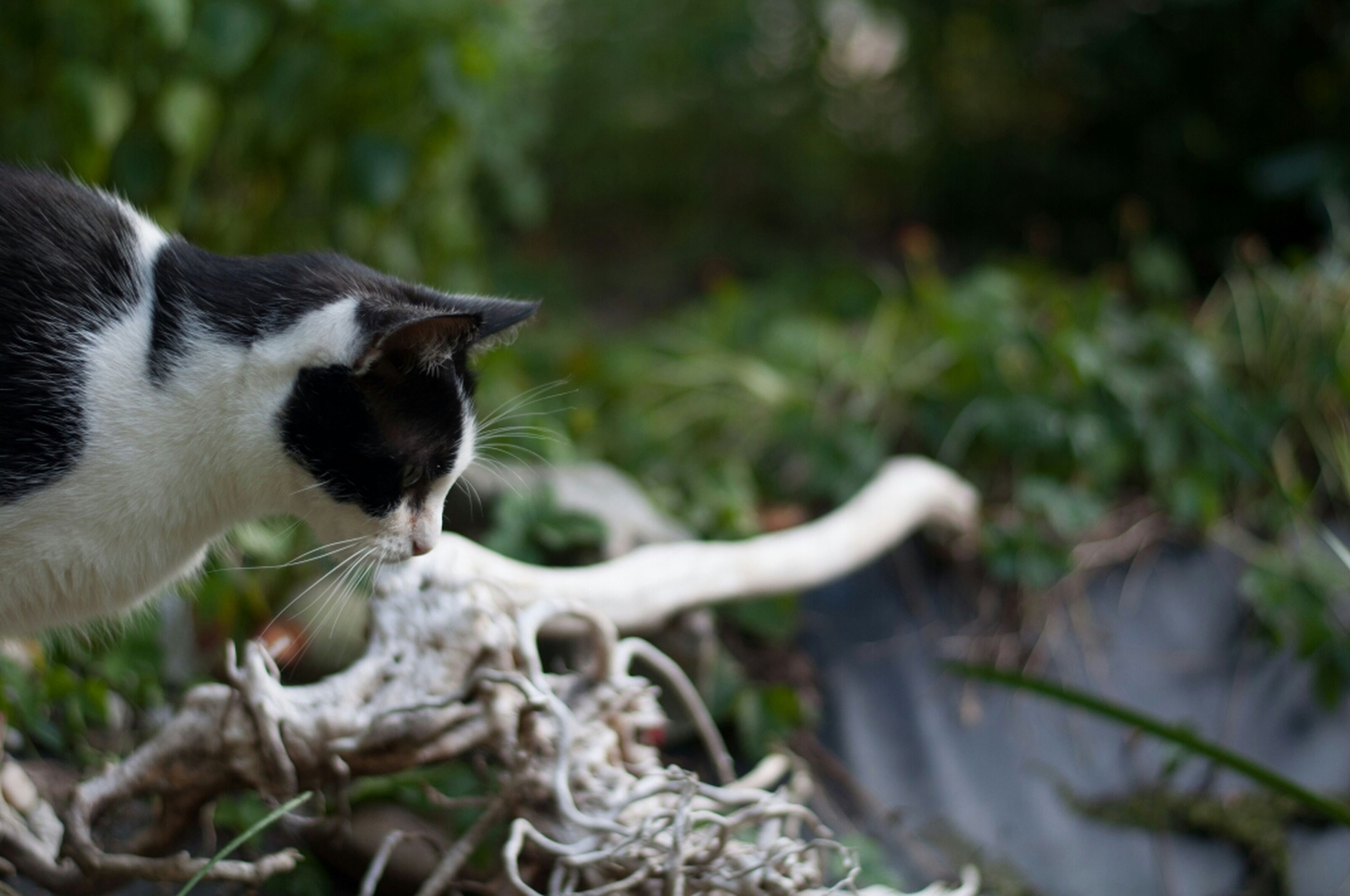 animal themes, one animal, mammal, domestic cat, pets, cat, domestic animals, focus on foreground, selective focus, feline, plant, nature, animals in the wild, wildlife, green color, close-up, day, whisker, outdoors, grass