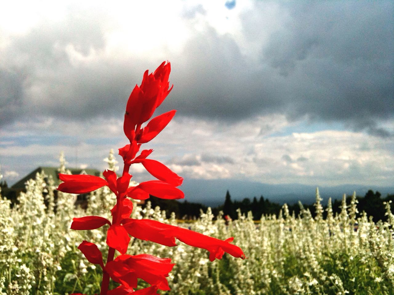 growth, flower, nature, beauty in nature, plant, fragility, petal, sky, red, field, day, cloud - sky, outdoors, no people, blooming, freshness, poppy, tranquility, flower head, scenics, close-up