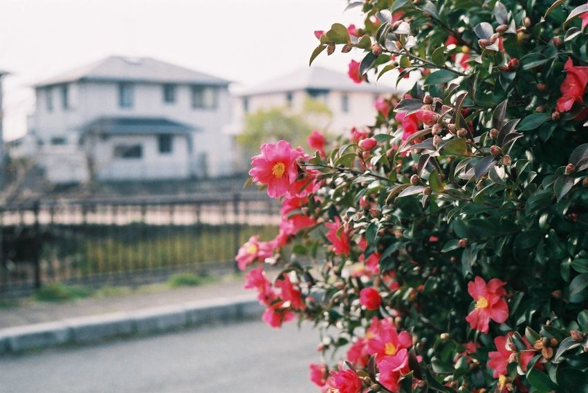 Fujicolor Industrial 100 Pentax SpII Flower House Residential Building Outdoors Pink Color Building Exterior No People Day Plant