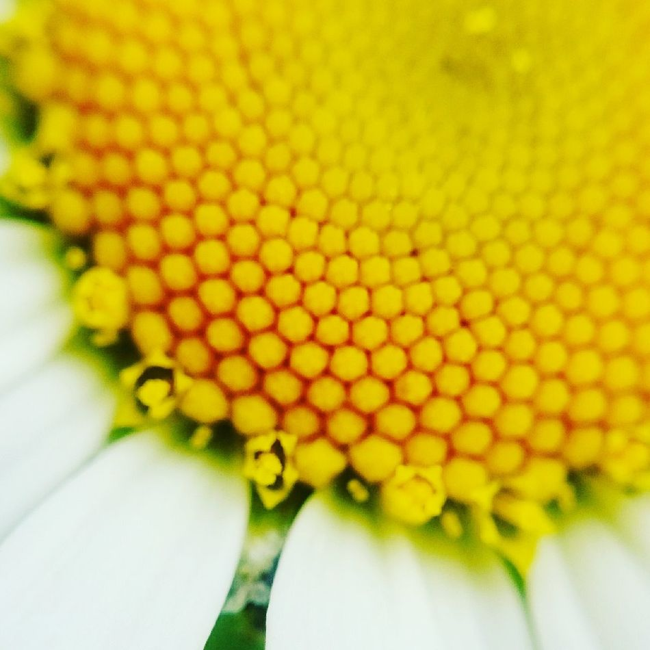 Yellow Flower Fragility Beauty In Nature Outdoors Day Flower Head Nature Summer ☀ Daisyflower Daisy Daisy 🌼 Daisy💜