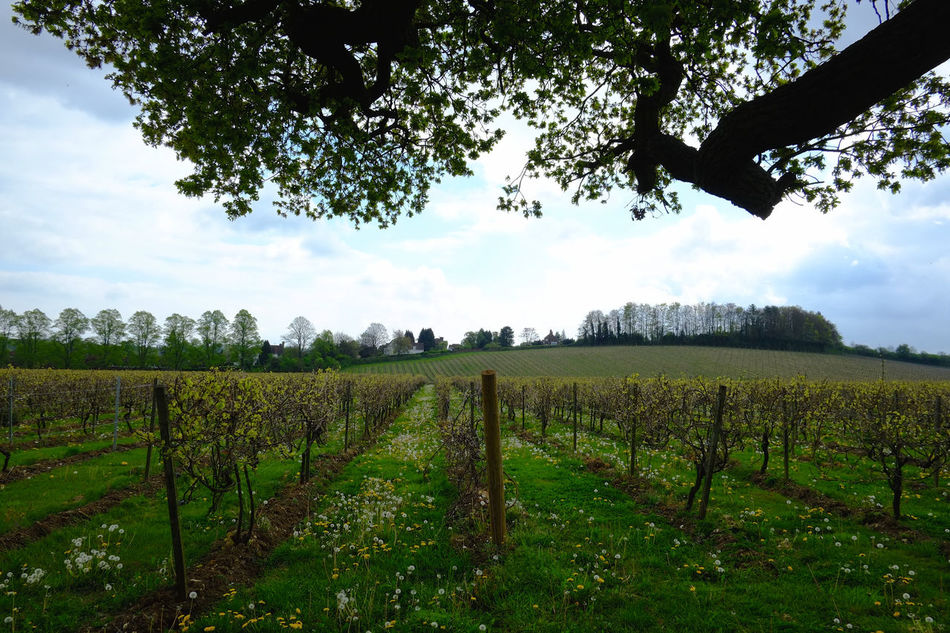 Vineyard in the spring Agriculture Countryside Cultivated Land Farm Farm Field Fresh Grapes Green Color Growth Growth Landscape Nature Nature Organic Plants Rural Scene Scenics Spring Tranquil Scene Tranquility Tree Vineyard Wine Winemaking