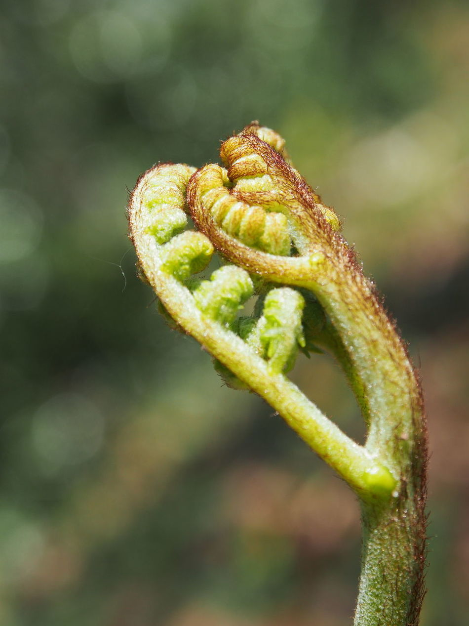 Beauty In Nature Close-up Curled Up Day Fern Fern Leaf Nature No People Outdoors Spiral Tendril Young Fern