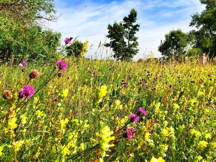 Blooming Nature Flower Growth Nature Plant Field Beauty In Nature Uncultivated Meadow Sky Flora Blooming Grass Outdoors Petal Vegetation Spring Fragility Day No People Landscape EyeEmNewHere The Great Outdoors - 2017 EyeEm Awards