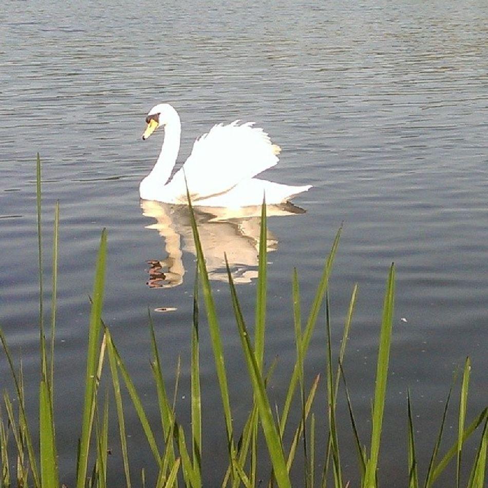 Rollesbybroad Nofilters Norfolk Norfolkbroads HTC htconehtc1 photography instagram instapic swan quite nature reeds