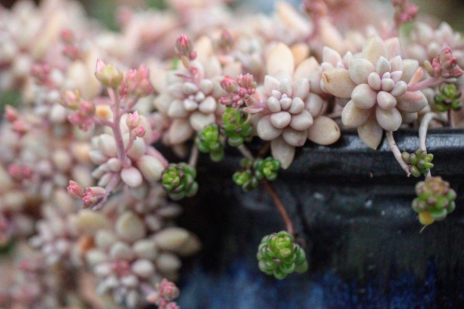 多肉植物 多肉 私の庭 セダム 寄せ植え Succulent Plant Nature_collection Naturelover Garden Mygarden Lovely 多肉鉢 Succulent Flower