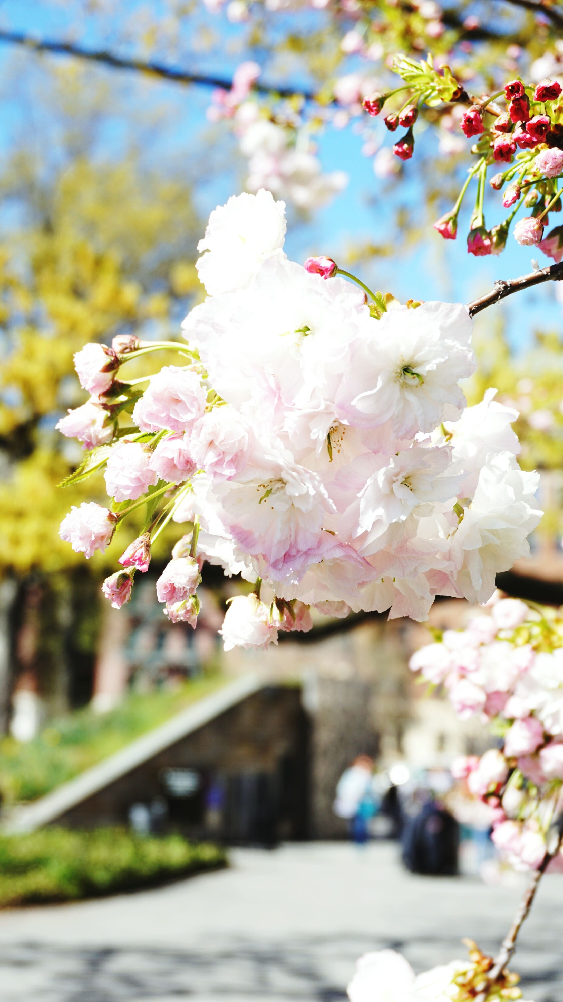 flower, freshness, fragility, cherry blossom, tree, growth, focus on foreground, petal, branch, beauty in nature, blossom, cherry tree, nature, close-up, blooming, in bloom, springtime, selective focus, white color, flower head