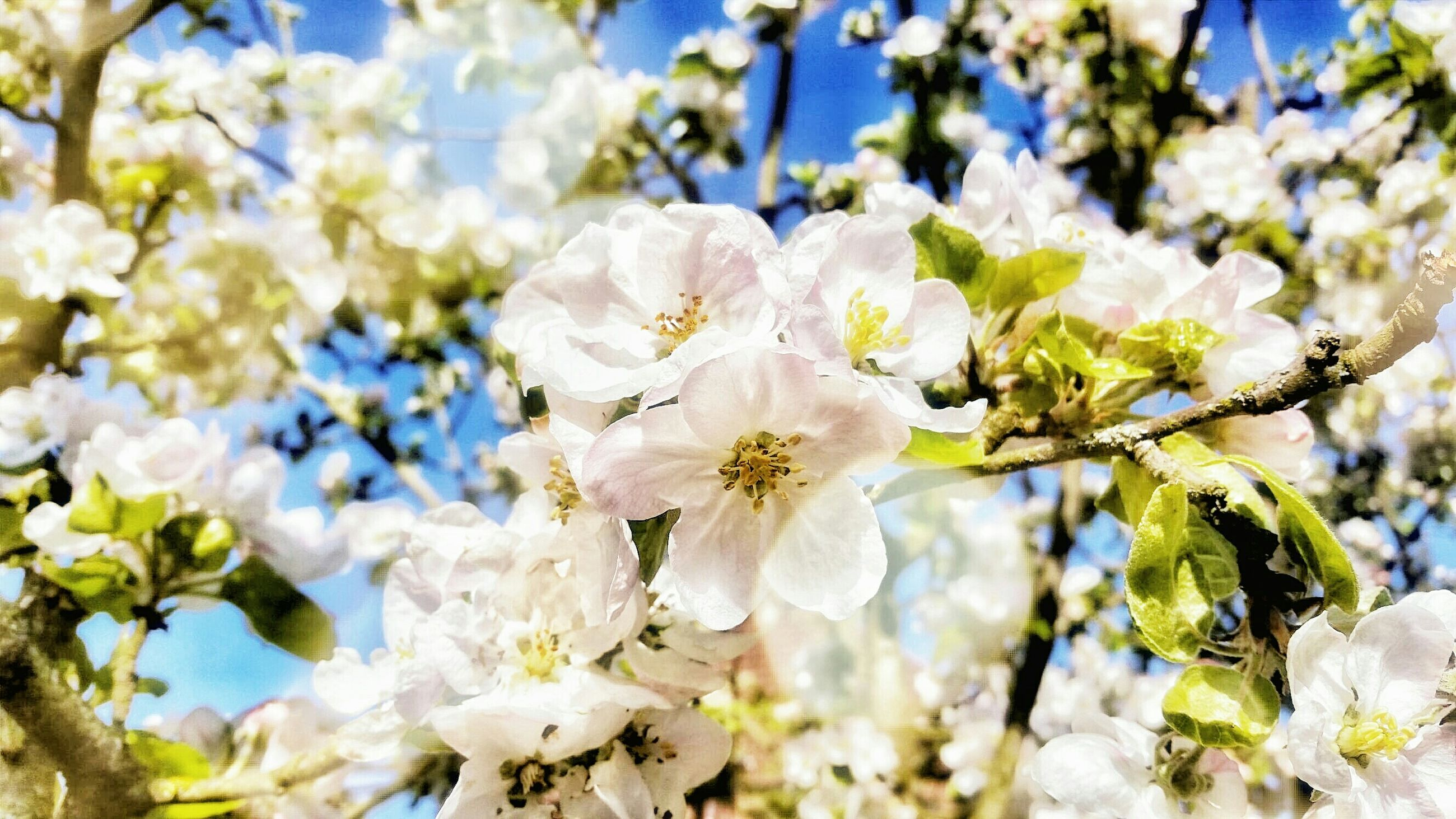 flower, freshness, fragility, growth, petal, white color, beauty in nature, focus on foreground, close-up, flower head, nature, blooming, blossom, cherry blossom, in bloom, tree, branch, stamen, springtime, day