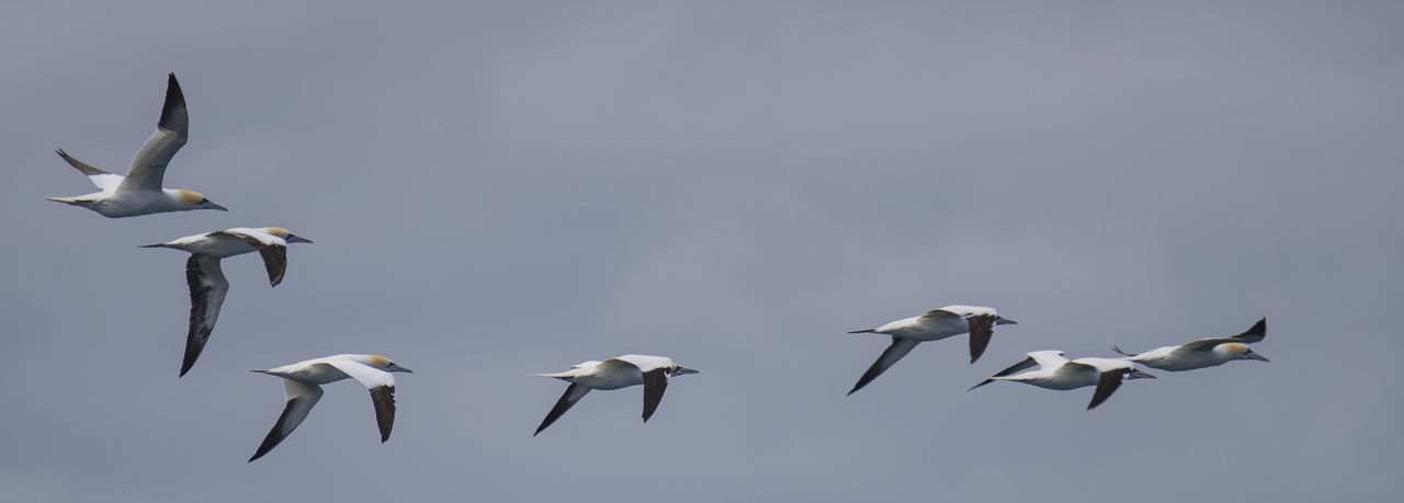 Animal Themes Animal Wildlife Animals In The Wild Bass Rock Gannets Beauty In Nature Bird Day Flying Large Group Of Animals Nature No People Outdoors Sky Spread Wings