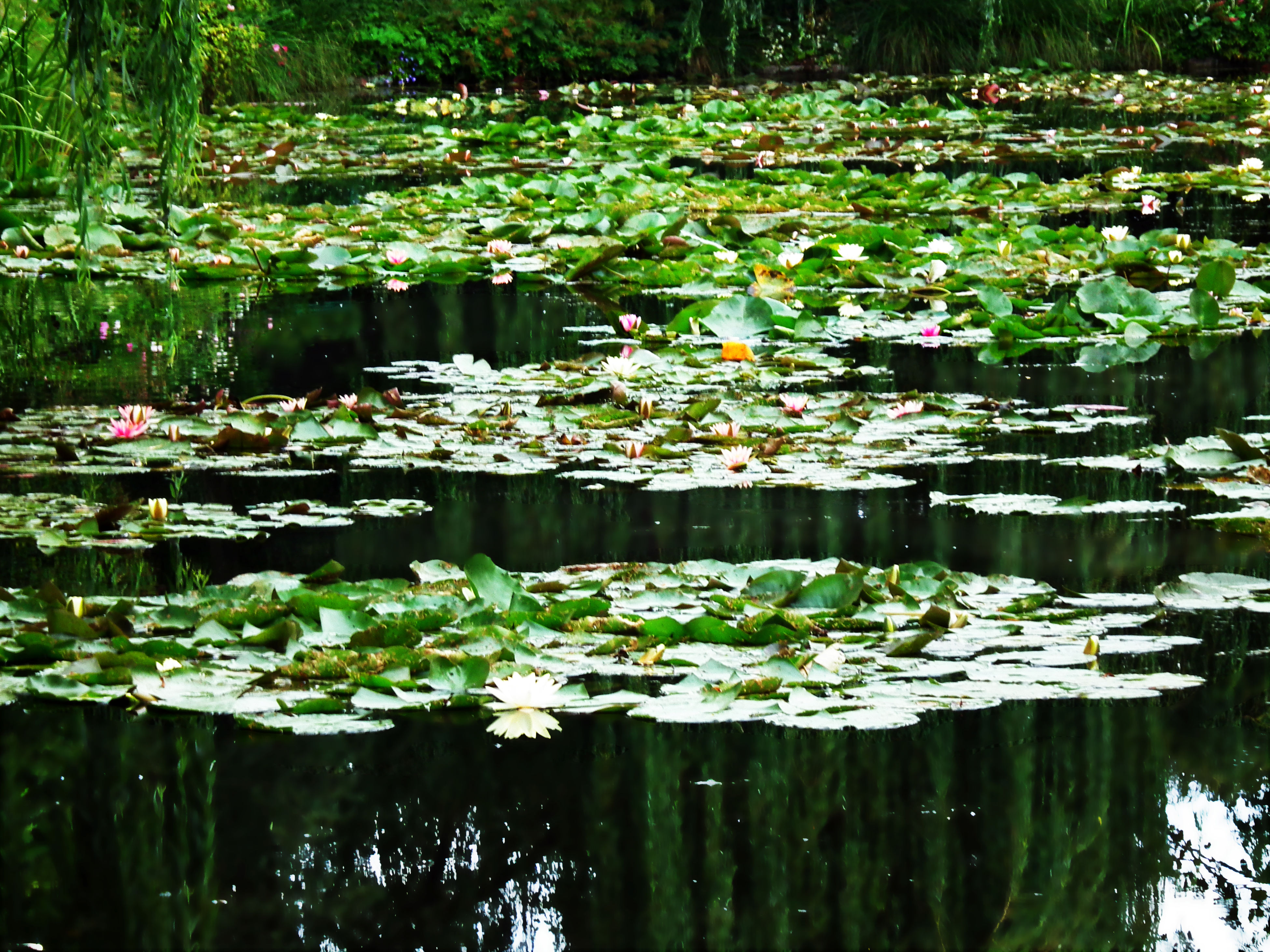 water, flower, reflection, pond, growth, water lily, beauty in nature, plant, floating on water, leaf, freshness, lake, nature, green color, tranquility, waterfront, fragility, lotus water lily, tranquil scene, outdoors