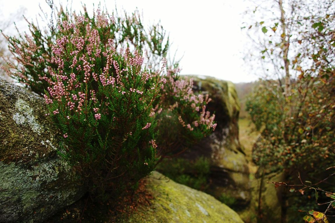 Rock Flower Heather Pink Pink Flower Plant Geology Botany Nature Beauty In Nature Focus On Foreground Autumn Brimham Rocks Yorkshire