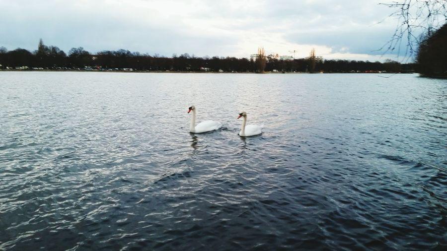 Swan couple Swans Swan Swans On The Lake Swansea Water Lake Beauty In Nature Nature Swimming Beautiful Animals  EyeEm Nature Lover Nature_collection Water_collection Lake View Hannover EyeEm Best Shots