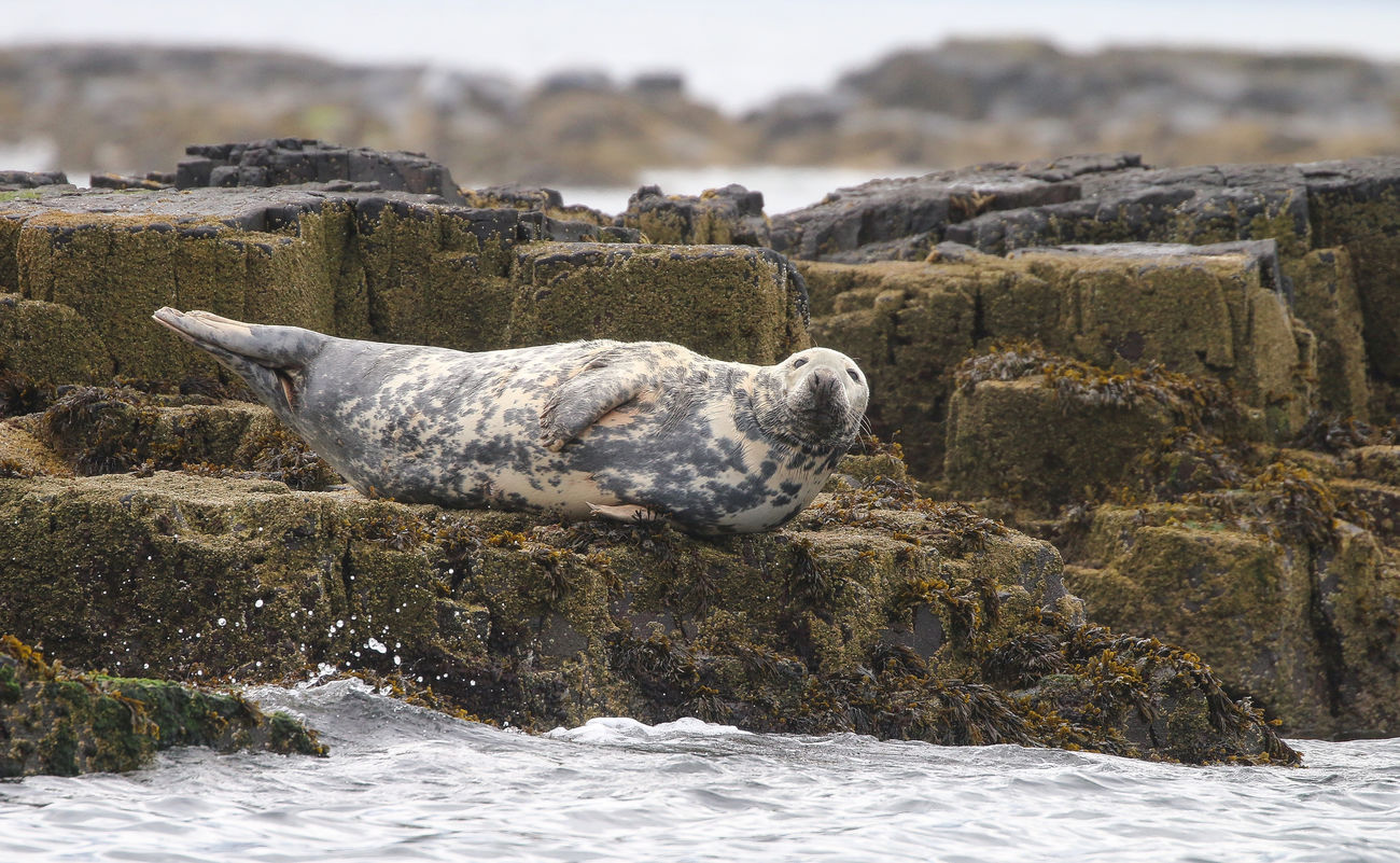 Grey Seal in the Farne Islands Animal Themes Animals In The Wild Beauty In Nature Close-up Day Focus On Foreground Nature No People Outdoors Rock - Object Sea Sky Water