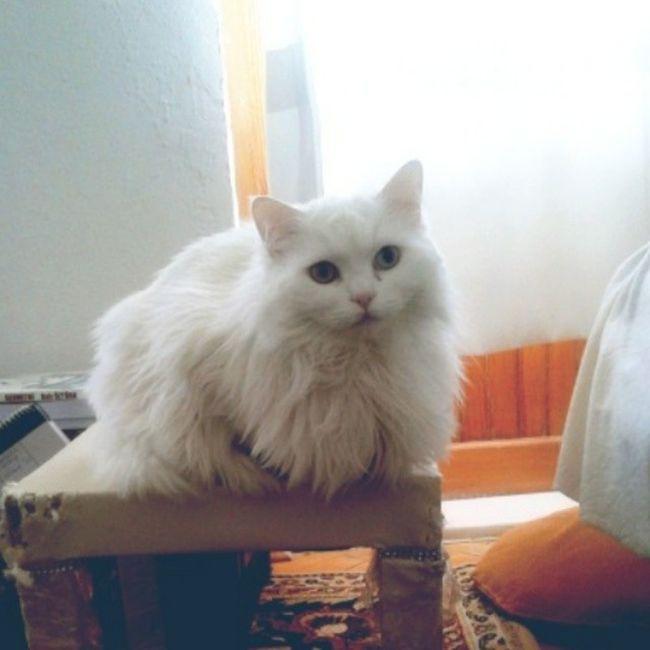 Sehpaayi ona verdik:) Cat Kedi Maya Mayukhan tırmalamadikyeryok