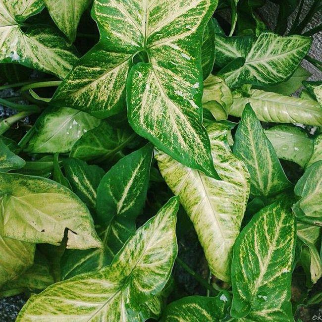 Green Colour Beautiful 011 Instapicten Thevisualsbrasil Folkbrasil Brasilfolk Dotedefotografo Achadosdasemana SP BR VSCO Vscogaleria Vsco011 Vscosp Vscofotografia_ Vscoamadores_