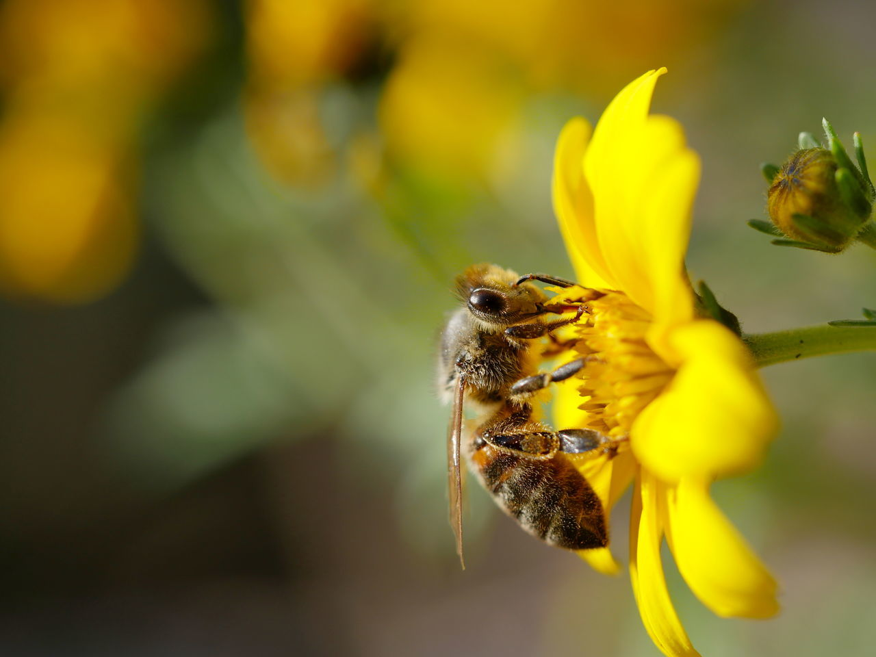 Bee Flower Fragility Insect Macro Nature No People Outdoors Pollination Close-up Animals Animal Themes Exceptional Photographs EyeEm Best Shots In Bloom Check This Out Perspective EyeEm Nature Lover Save The Bees Side View Taking Photos Wildbee The Great Outdoors - 2017 EyeEm Awards