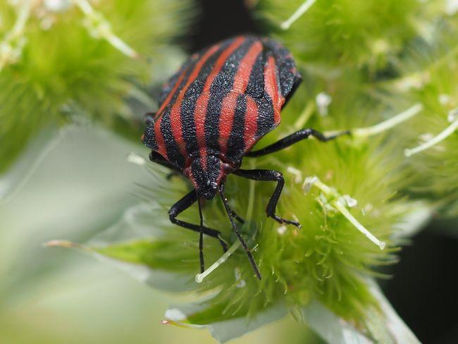 A stink bug Bug Insect Stinkbug Macro