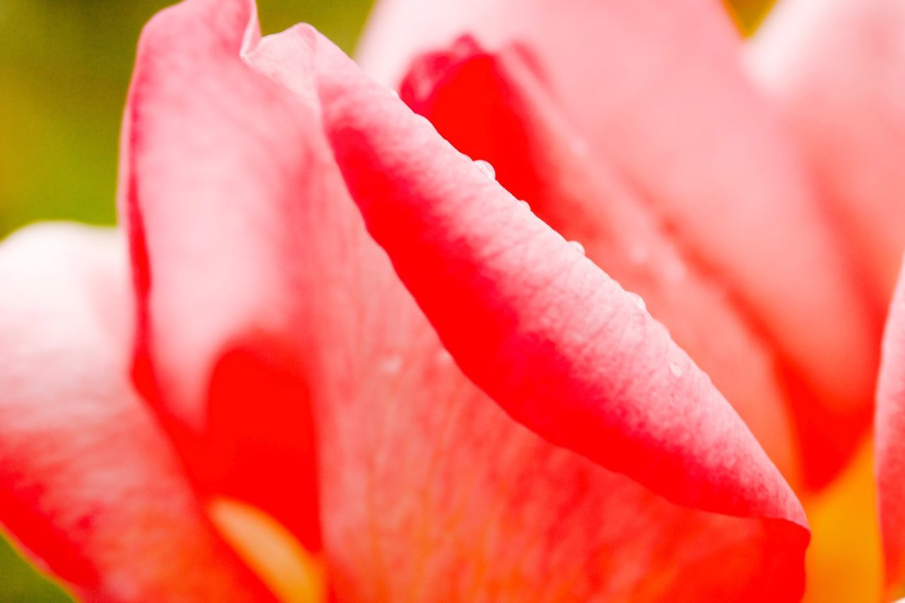 Flower Nature Red Freshness Fragility Beauty In Nature Petal Growth Close-up Flower Head Pink Color No People Blooming Plant Day Outdoors Tulip