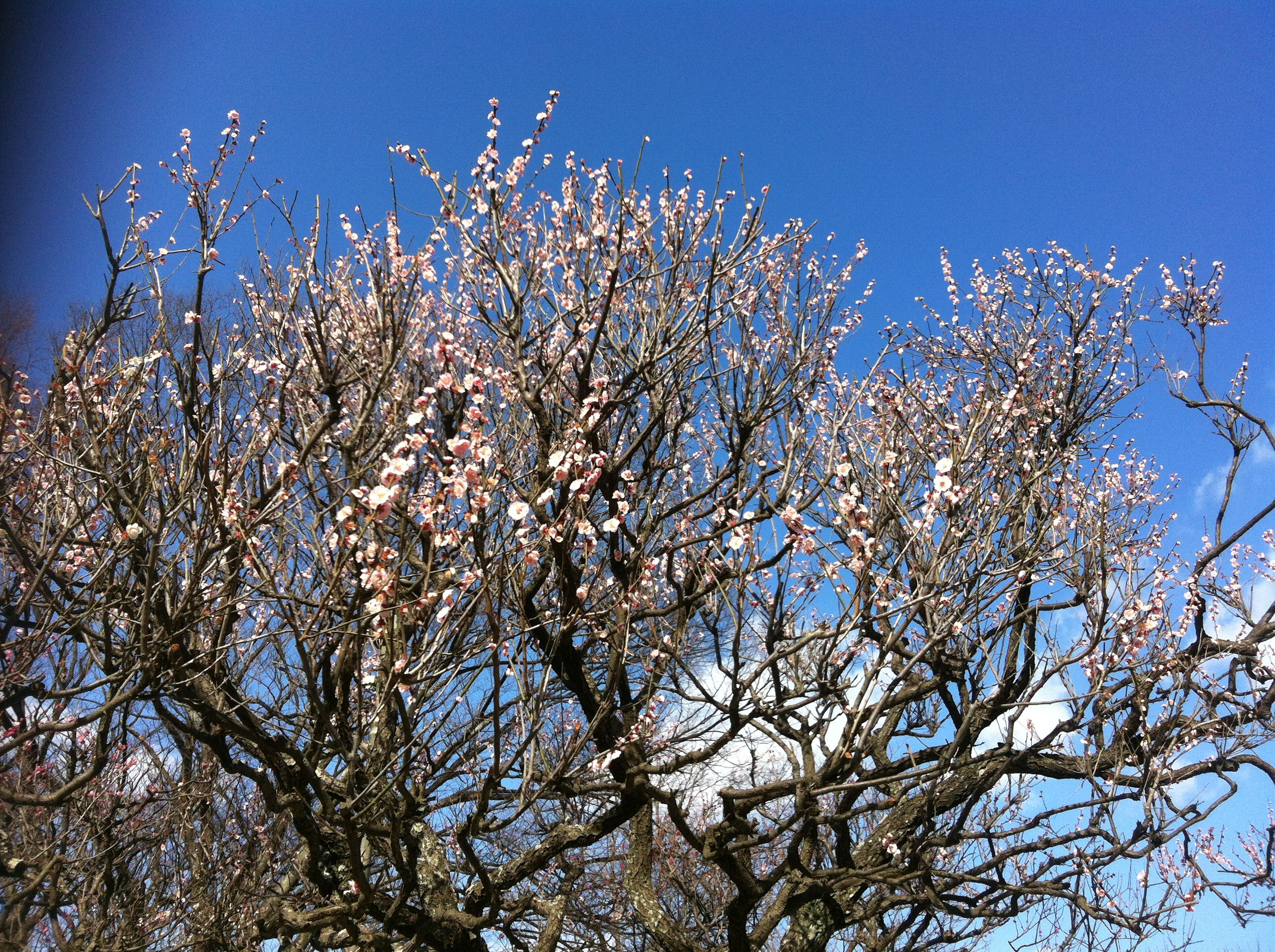 low angle view, branch, tree, clear sky, blue, growth, nature, beauty in nature, sky, bare tree, flower, tranquility, day, outdoors, high section, freshness, no people, sunlight, blossom, scenics