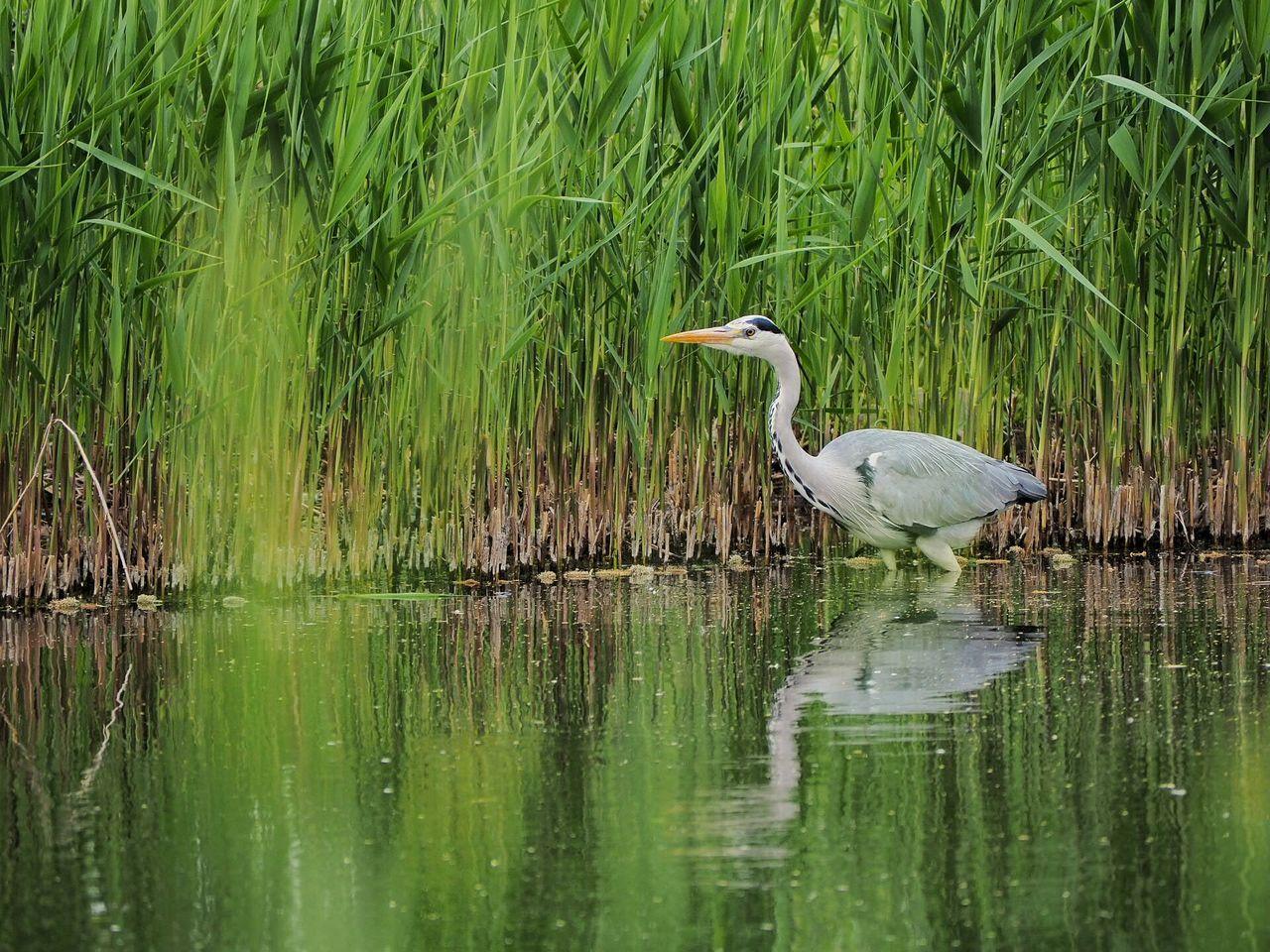 Heron in the pond Heron Reiher Bird Vogel Nature Natur Leipzig Wildlife Tierwelt