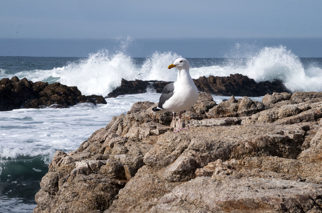 Seagull sitting on rock with crashing waves behind it. Animals In The Wild Beach Beauty In Nature Bird Day Horizon Over Water Nature No People Outdoors Power In Nature Rock - Object Sea Seagull Seagulls Seagulls And Sea Splashing Water Wave